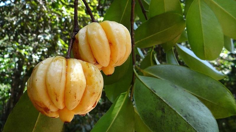 Garcinia cambogia, czyli spalanie jak w tropikach!