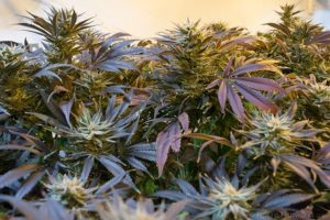 Nasiona konopi a polskie prawo. Gdzie kupić nasiona marihuany?