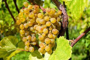 Winorośl właściwa – właściwości i zastosowanie