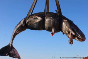 22 kg plastiku w żołądku wieloryba