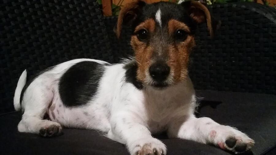 "Jack Russell Terrier. Ile ""ludzkich"" lat ma ma pies? Naukowcy obalili popularny mit"