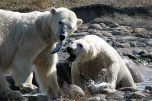 Naukowcy alarmują: do 2100 roku mogą wyginąć niedźwiedzie polarne